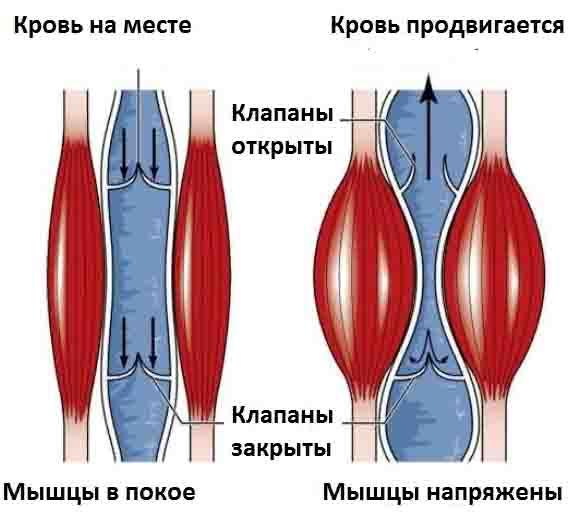 мышцы и сосуды